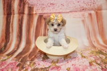 3 Bebop Female CKC Schnoodle 6W4D old 1lb 14oz (33)