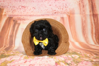 3 Bruno Male CKC Maltipoo 2lbs 1.5oz 6W3D old (16)