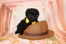 Buster Male CKC Maltipoo $1750 Ready 5/14 HAS DEPOSIT MY NEW HOME CORAL GABLES, FL 6W3D old 2lb 3oz