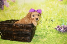3 Coco Female CKC Malshipoo 1lb 15.5oz 5W4D old (15)