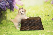 3 Dior Female CKC Malshipoo 1lb 15oz 5W4D old (19)