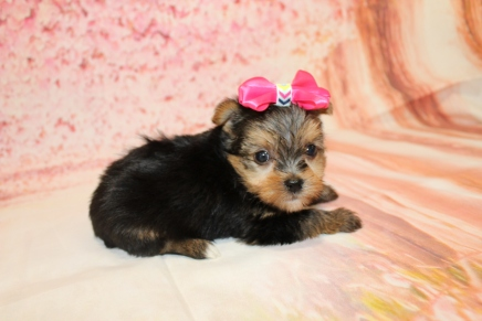 Elsa Female CKC Havashire $2000 Ready 5/16 HAS DEPOSIT MY NEW HOME IS FORT PIERCE, FL 1lb 6oz 5W1D old