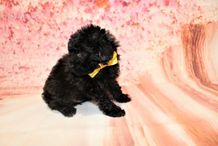 Gentle Male CKC Maltipoo $1750 Ready 5/8 HAS DEPOSIT MY NEW HOME ST AUGUSTINE, FL 1lb 9.5oz 6W3D old