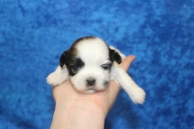 Gingersnap Female CKC Havashu $2000 Ready 5/9 AVAILABLE 2W3D old