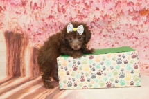 Joy (Lulu) Female CKC Maltipoo $2000 Ready 5/8 HAS DEPOSIT MY NEW HOME FLEMING ISLAND, FL 1lb 10.5oz 6W3D old