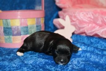 3 Lilo Female CKC Havapoo 11.9oz 10 days old (13)