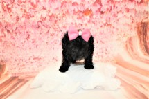 Love Female CKC Maltipoo $1750 Ready 5/8 HAS DEPOSIT! MY NEW HOME IS IN MURPHY, NC 1lb 2oz 6W3D old