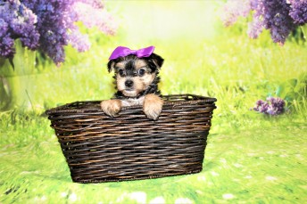 3 Luna Female CKC Morkie 1lb 10.5oz 6W1D old (39)