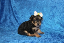 3 Luna Female CKC Morkie 1lb 5.2oz 4W2D old (47)
