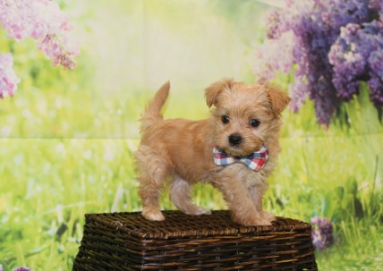 Meeko Male CKC Morkie $2000 Ready 4/27 HAS DEPOSIT MY NEW HOME IS LONDON 1lb 5.5oz 6W1D old