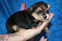 3 Mighty Dog CKC Havashire Male 1 Lb 5.5 oz 3 Weeks (6)