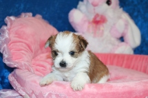 3 Myka Female CKC Morkie 1 lb 5.3 oz 4W2D Old (1)