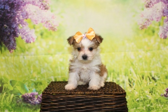 3 Myka Female CKC Morkie 1lb 9oz 6W1D old (4)