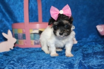 Pancake Female CKC Havanese $1750 Born 2/24 Ready 4/20 HAS DEPOSIT! MY NEW HOME IS IN PONTE VEDRA, FL! 15 oz 5W1D Old