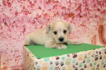 3 Rolly Male CKC Schnoodle 2lb 9oz 5W1D old (36)