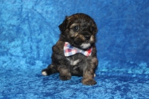 Rory Male CKC Havanese $2000 Ready 4/30 AVAILABLE 2 Lbs 3W5D old