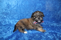 Rudy Male CKC Havanese $2000 Ready 4/30 HAS DEPOSIT MY NEW HOME IS 1lb 10.5oz 3W5D old