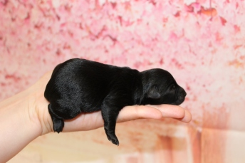 3 Seabeck Male CKC Yorkipoo 7oz 2D old 5.5oz 2D old (30)