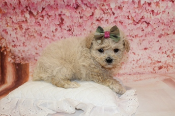 3 Sundae Female CKC Malshipoo 2lb 5oz 5W1D old (10)