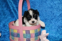 3 Waffles Female CKC Havanese 1 lb 9 oz 5W1D Old (15)