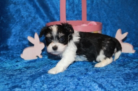 Bacon Male CKC Havanese 1 lb 7.2 oz 5W1D Old