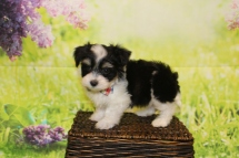 Bacon (Oakley) Male CKC Havanese $1750 Ready 4/20 SOLD MY NEW HOME IS IN PONTE VEDRA, FL 1lb 11oz 7W3D old