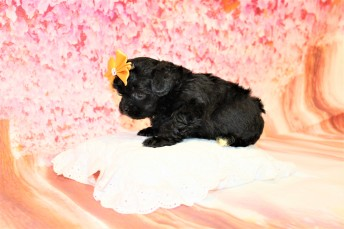 4 Banana Split Female CKC Malshipoo 1lb 9oz 5W1D old (26)