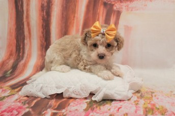 4 Bebop Female CKC Schnoodle 6W4D old 1lb 14oz (28)