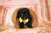 4 Bruno Male CKC Maltipoo 2lbs 1.5oz 6W3D old (18)