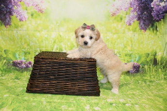 4 Dior Female CKC Malshipoo 1lb 15oz 5W4D old (17)
