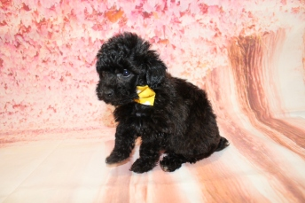 4 Gentle Male CKC Maltipoo 1lb 9.5oz 6W3D old (17)