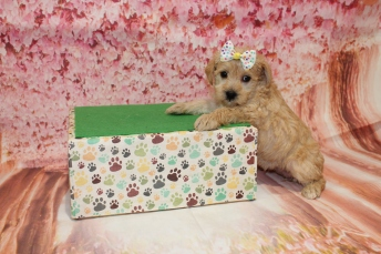 4 HIssy Female CKC Schnoodle 2lb 10.5oz 5W1D old (56)