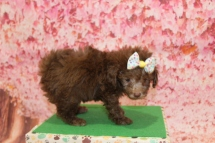 4 Joy (Chloe) Female CKC Maltipoo 1lb 10.5oz 6W3D old (32)
