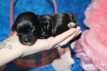 4 Lilo Female CKC Havapoo 11.9oz 10 days old (2)