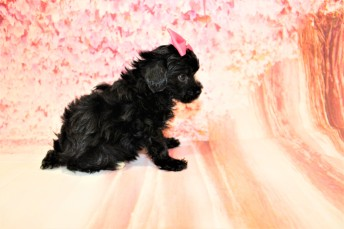4 Love Female CKC Maltipoo 1lb 2oz 6W3D old (31)