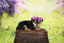 4 Luna Female CKC Morkie 1lb 10.5oz 6W1D old (35)