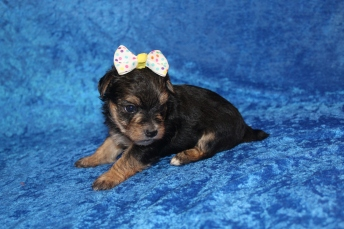 4 Luna Female CKC Morkie 1lb 5.2oz 4W2D old (36)