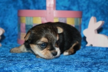 4 Mighty Dog CKC Havashire Male 1 Lb 5.5 oz 3 Weeks (10)