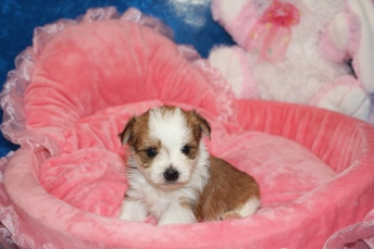 4 Myka Female CKC Morkie 1 lb 5.3 oz 4W2D Old (5)