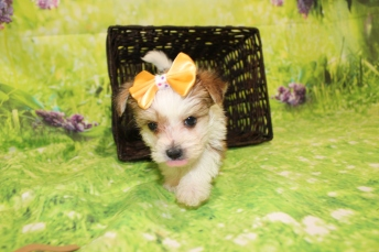 4 Myka Female CKC Morkie 1lb 9oz 6W1D old (43)