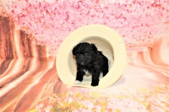 4 Nutty Buddy Male CKC Malshipoo 1lb 4oz 4W3D old (28)