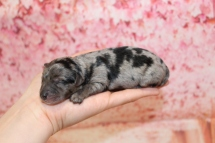 Olympia Female CKC Yorkipoo $2000 Ready 6/20 HAS DEPOSIT MY NEW HOME SAN JOSE, CA 7oz 2 Days old