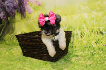 4 Pancake Female CKC Havanese 1lb 6oz 7W3D old (7)