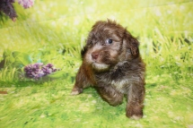 4 Reed Male CKC Havanese 2lbs 10.5oz 5W4D old (26)
