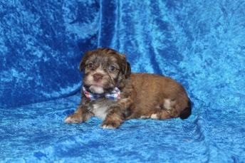 Reed Male CKC Havanese $2000 Ready 4/30 AVAILABLE 2 Lbs 4 oz 3W5D old