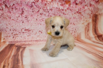 4 Rolly Male CKC Schnoodle 2lb 9oz 5W1D old (7)