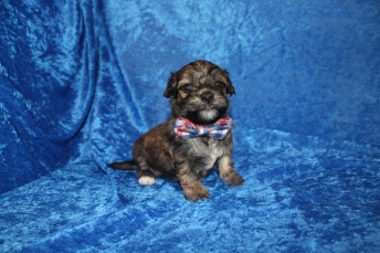 4 Rudy Male CKC Havanese 1lb 10.5oz 3W5D old (36)