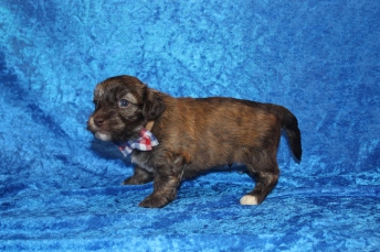 4 Rusty Male CKC Havanese 2lbs 3W5D old (19)
