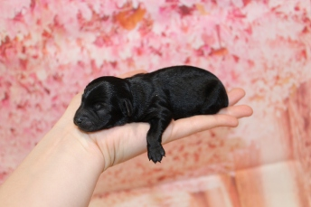 4 Seabeck Male CKC Yorkipoo 7oz 2D old 5.5oz 2D old (24)