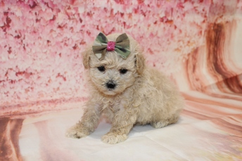 4 Sundae Female CKC Malshipoo 2lb 5oz 5W1D old (24)